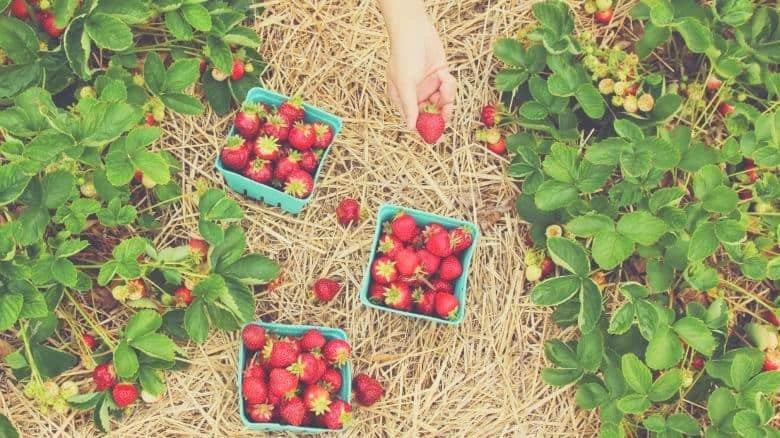 strawberries being picked