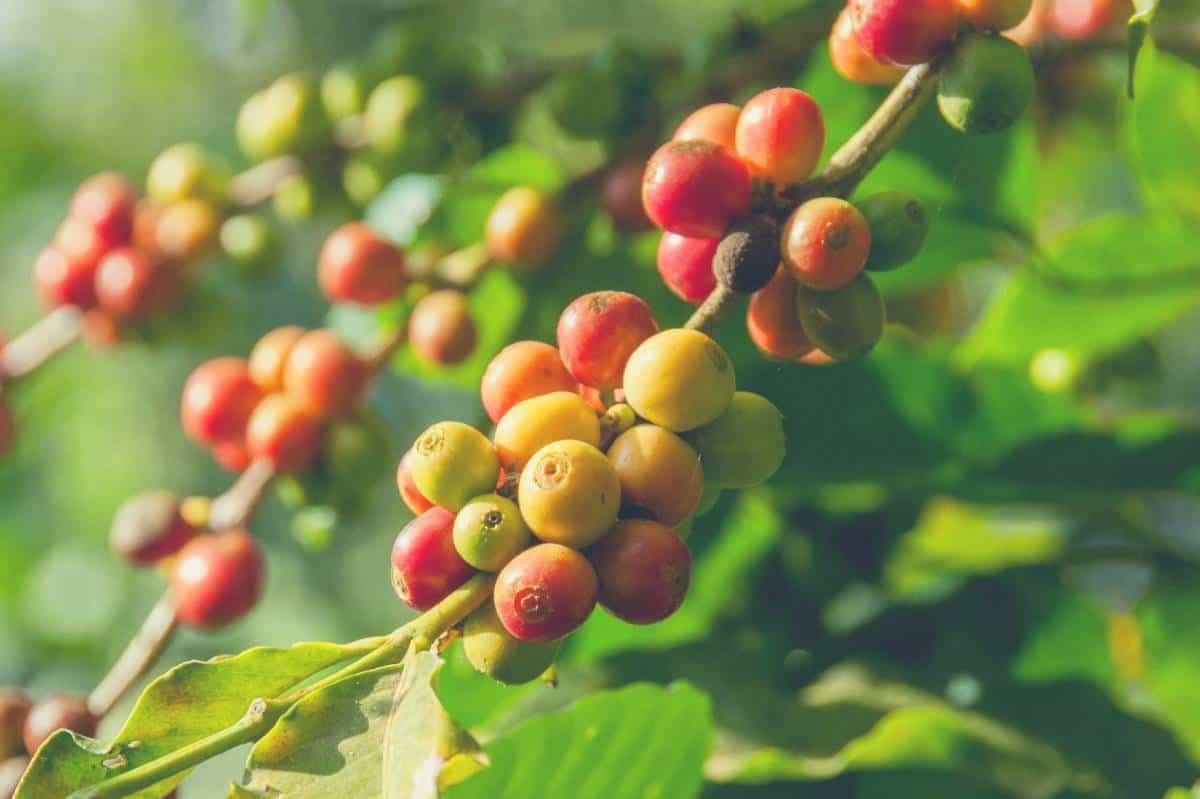 coffee cherries growing on a coffee plant