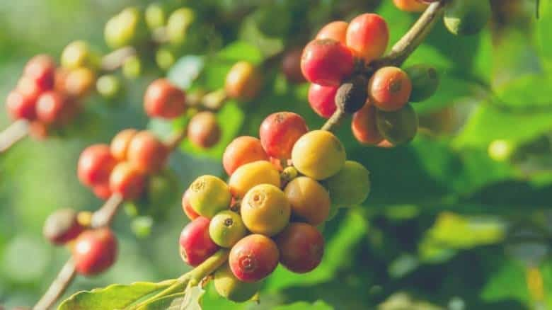 coffee cherries growing at a coffee plantation